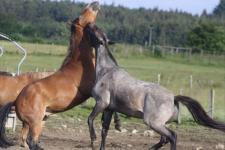 paard Vielsalm